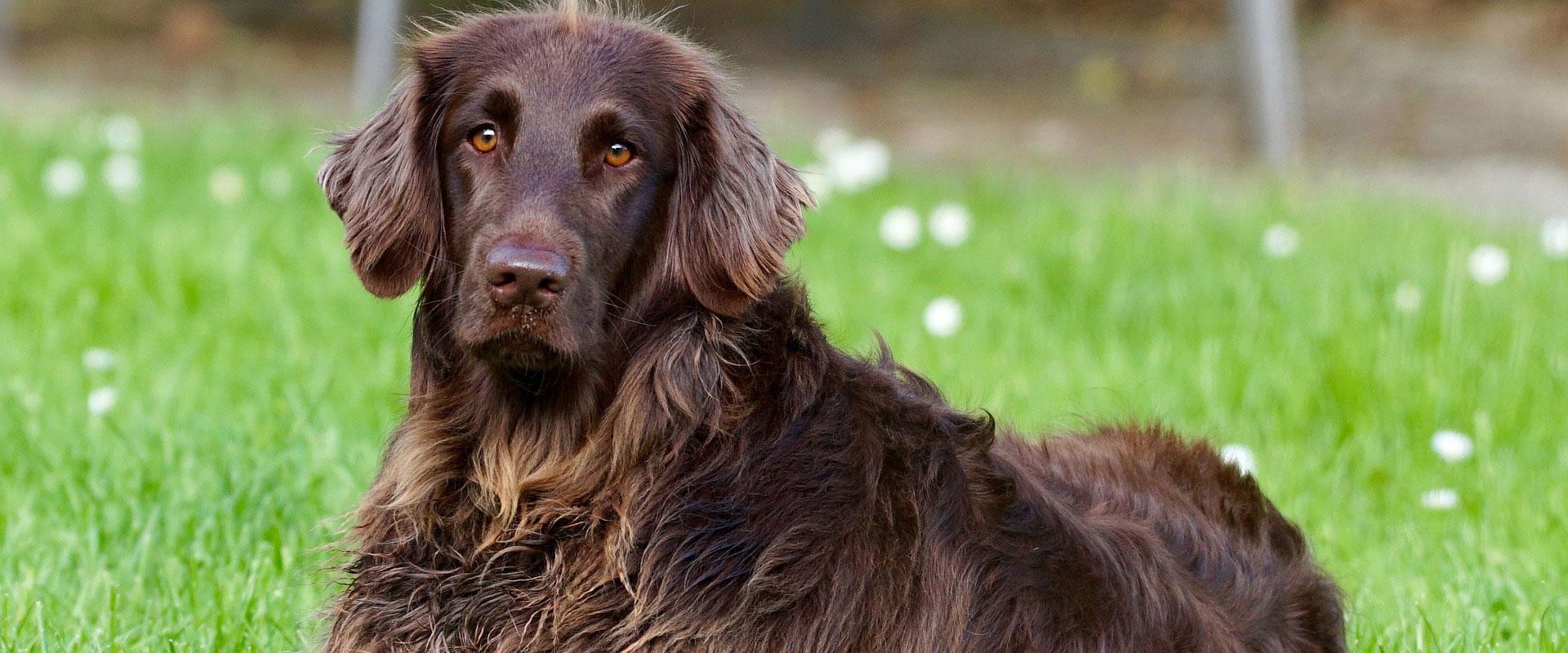 Brown dog lying in grass